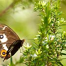 Varied Sword Grass Brown Butterfly by NaturalCultural