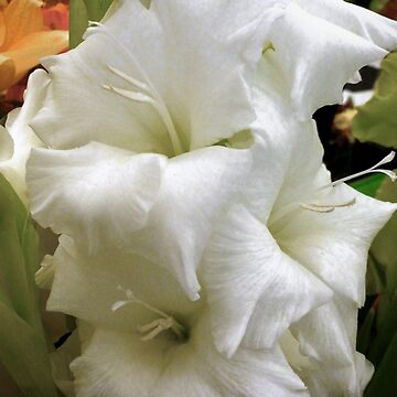 WHITE GLADIOLUS  by elainebawden