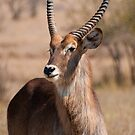 Waterbuck at the N'wanetsi River Road, Kruger National Park, South Africa by Erik Schlogl
