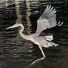 young great blue heron by gruntpig