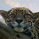 Beautiful Jaguar by Sandy Keeton