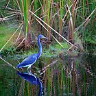 Little Blue Heron by Cynthia48