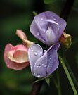 Sweetpeas in the Garden by AnnDixon