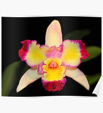 Multi Coloured Cattleya Orchid Poster