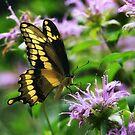 Tiger Swallowtail & Bee balm by debfaraday