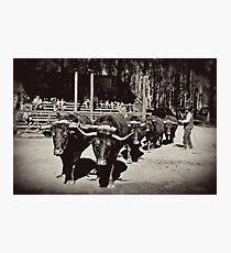 Black & White Bullock Team Photographic Print