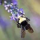 Bumble Bee by rrushton