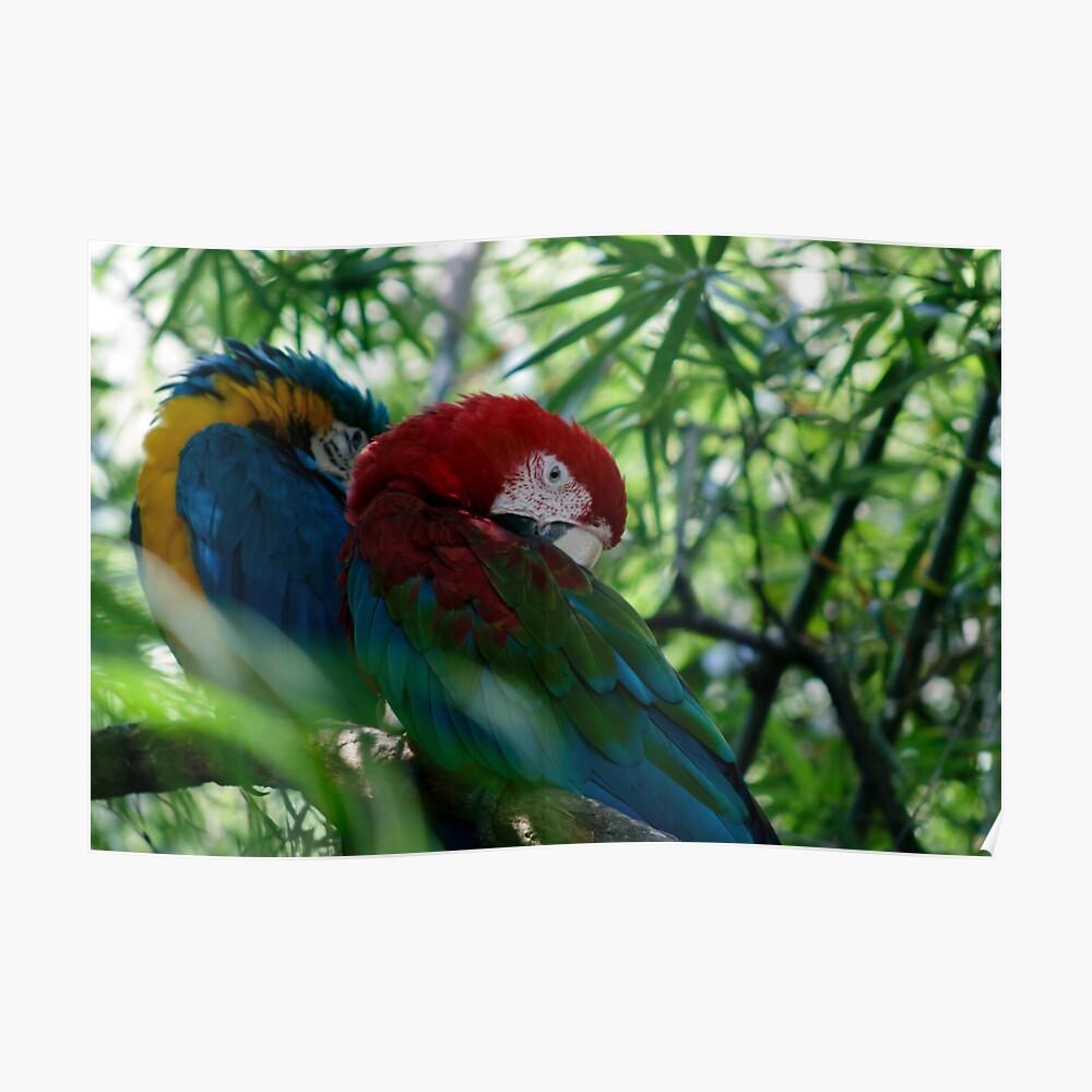 Macaw Parrots Cuddle Póster
