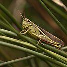 Large marh grashopper by Minne