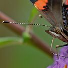 Red Admiral by Minne