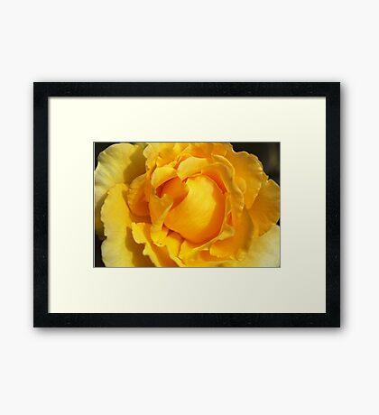 Vibrant Yellow Rose Framed Print
