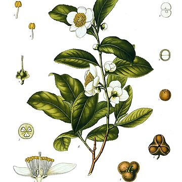 Tea plant biological drawing - Camellia Sinensis by CoppedFlack