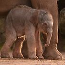 New Baby Asian Elephant at Chester Zoo by AnnDixon