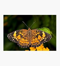 Little Pearl Crescent Butterfly Photographic Print