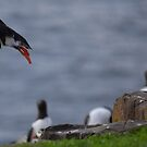 Puffin Taking Off by Rob Parsons (Just a Walker with a Camera)