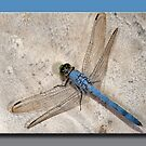 Eastern Pondhawk Male Dragonfly by Bonnie T.  Barry