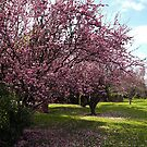 Flowering Plum Trees - Drouin  by Bev Pascoe