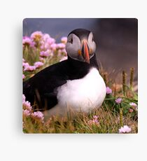 Lovely Little Puffin At Sumburgh, Shetland. Canvas Print