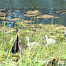 Black Swan Parents with Cygnets  by Virginia McGowan
