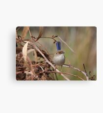 Superb Fairy-Wren ~ young male II Canvas Print
