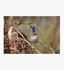 Superb Fairy-Wren ~ young male II Photographic Print