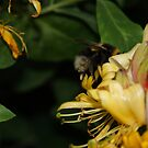 Head first for Honey by CiaoBella