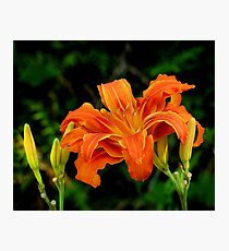 a daylily for today Photographic Print