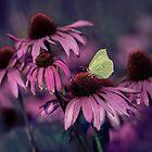 Purple ehinacea by JBlaminsky