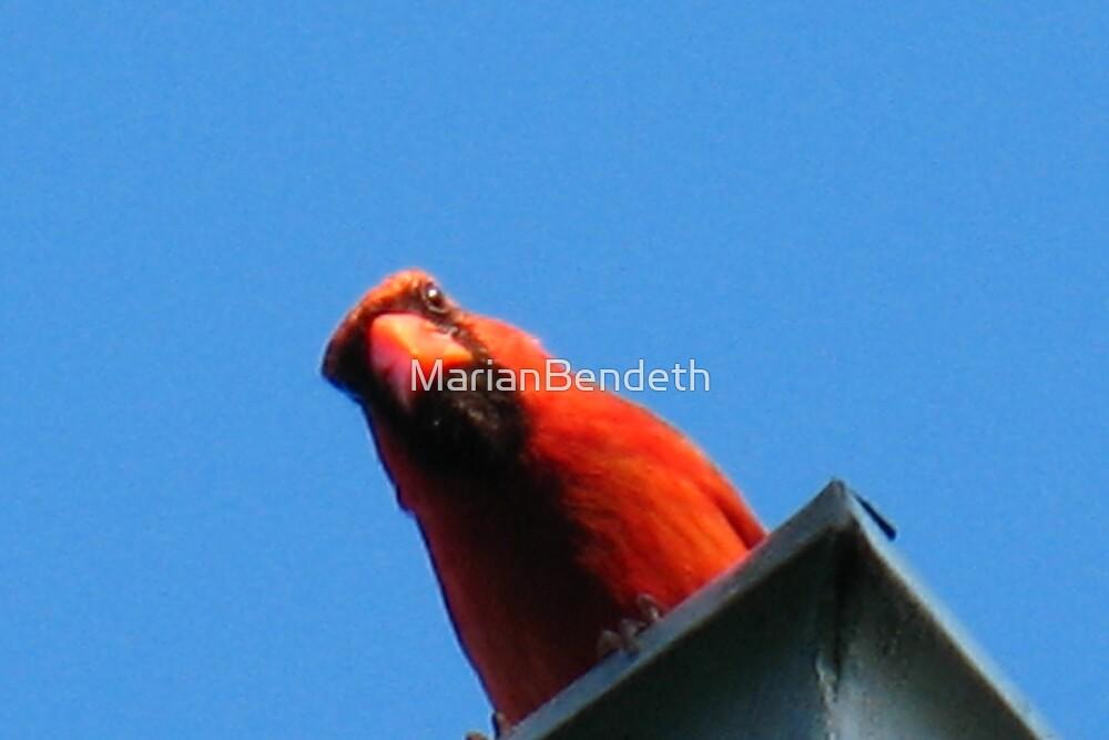 "Canadian ""Baseball cap"" Cardinal by MarianBendeth"