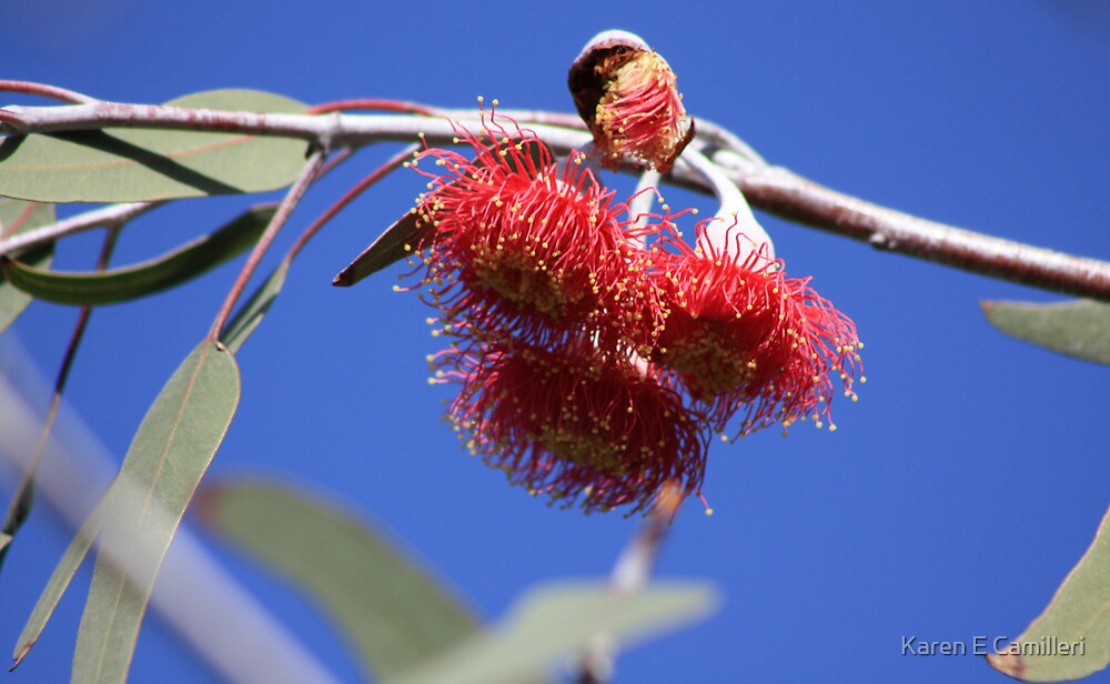 eucalypt flowers by Karen E Camilleri