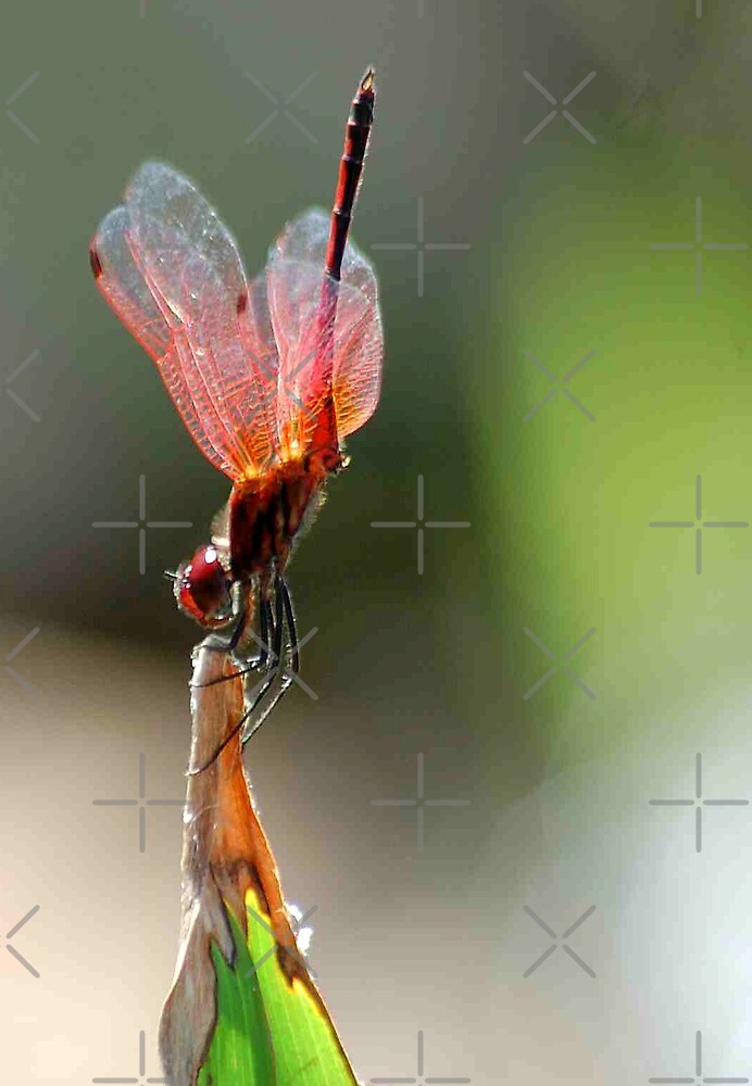 THE BALLERINA - Red Basket dragon fly by Magriet Meintjes