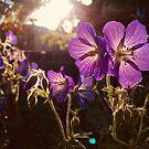 Geranium Magic by Pamela Hubbard