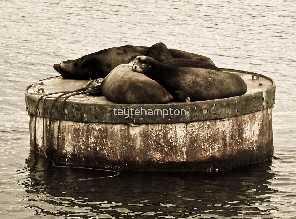 California Sea Lions- Puget Sound, Seattle, WA by taytehampton