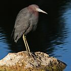 Little Blue Heron on the rocks by Jim Cumming