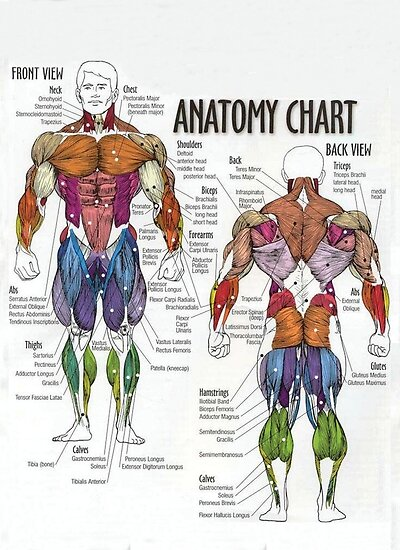 Anatomy    Chart  Muscle    Diagram     Poster by superfitstuff   Redbubble