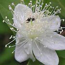 Spring Blossom  by Virginia McGowan