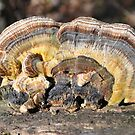 Bracket Fungi in Bundaleer Forest by Annie Moore(Street)