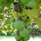 Green Grapes by Jennifer  Burgess