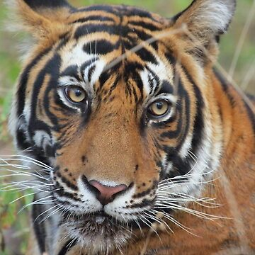 Tiger Portrait by Carole-Anne