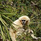 White Handed Gibbon 003 by pasta26mc