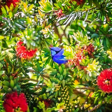 Blue Wren in a Bottle Brush, Margaret River, Perth, Western Australia by MADCAT