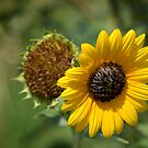 Wild Sunflower 2 by Colleen Drew