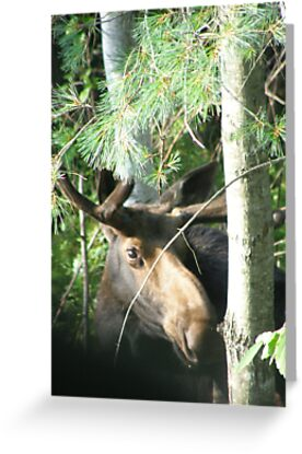 Young Bull Moose by Judith Hayes