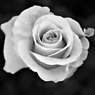 Black and White Botanical Series D by JHP Unique and Beautiful Images