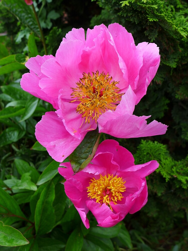Pink Peonies by Anna Myerscough