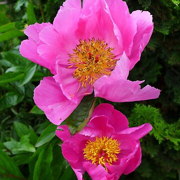 Pink Peonies by AnnaMyerscough