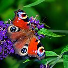 Peacock Butterfly by Jane-in-Colour
