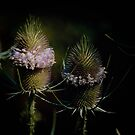 Teasels by MotherNature2