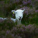 Herdwick in theHeather  by Rob Parsons (AKA Just a Walker with a Camera)