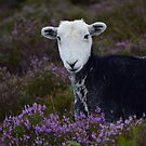 Herdwick in the Heather by Rob Parsons (AKA Just a Walker with a Camera)